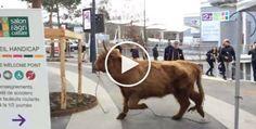 Cette vache s'évade du Salon de l'Agriculture. Le Web se mobilise pour qu'elle ne soit pas abattue