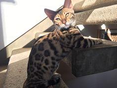 QonoS Ashari Bengal Cats, Four Square, Animals, Animales, Animaux, Animal, Animais