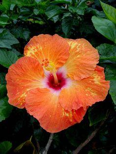 Hibiscus Tropical sun