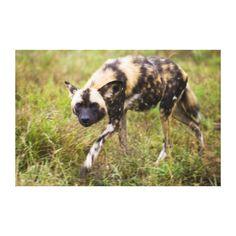 African Wild Dog (Lycaon Pictus), Madikwe Game Canvas Print