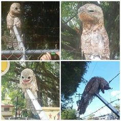 A very bizarre bird was photographed in Venezuela recently. Meet the Potoo, which is rarely seen in daylight. - Imgur