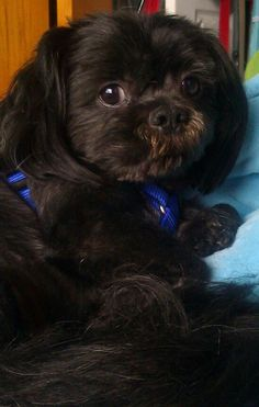 Beautiful shih-tzu