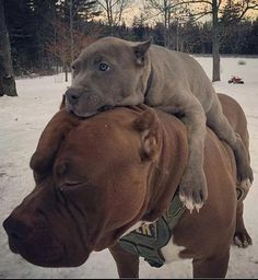 Uplifting So You Want A American Pit Bull Terrier Ideas. Fabulous So You Want A American Pit Bull Terrier Ideas. Cute Funny Animals, Funny Animal Pictures, Cute Baby Animals, Funny Dogs, Animals And Pets, Nature Animals, Cute Puppies, Cute Dogs, Dogs And Puppies