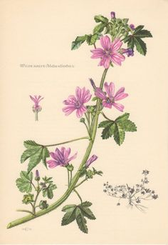 Wilde Malve (Malva Silvestris)  Known as Common Mallow,   Cheeses, High Mallow, T all Mallow, Mauve des bois, Mολόχα ( Μαλάχη η άγρια). Malva sylvastris has been used medicinally since ancient times,  and is still used in modern phytotherapy.