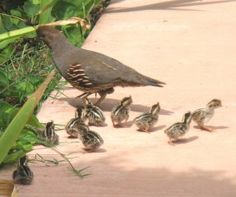just look at those babies following their mom.....cutest birds ever.  I love the quail that live in my neighborhood.  One day when I have a home with a wonderful hidden backyard I will have quail families live there.