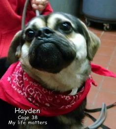 Meet 38  Hayden, a Petfinder adoptable Pug Dog | Canton, OH | Picked up as a stray on 4/20.  Available on 4/24. Love little dogs, that think they are big dogs! ...
