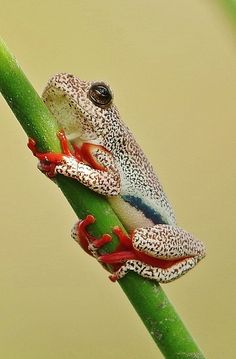 "Botswana Reed Frog (a/k/a Red-soecmled Frog) .                           (""11635424845_e54bdc6939_b.jpg (673×1024)."")"