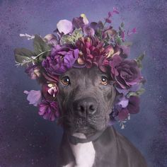 "Aria. With ""Flower Power: Pit Bulls of the Revolution"", I decided to photograph them with flower crowns, to infuse a softer energy into their image. I wish for this series to challenge the way we look at pit bulls, and ultimately the way we treat them. All the models from the series are shelter pit bulls who were waiting for adoption at the time of the photograph."