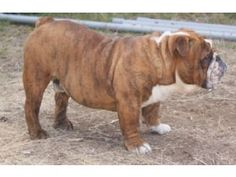 english bulldog puppies oregon 1000 images about laura ingalls wilder photos on 4796