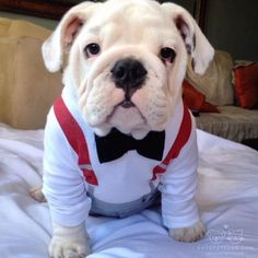 "From @BullyDogDad: ""Dapper 24/7! "" #cutepetclub by: @cutepetclub"
