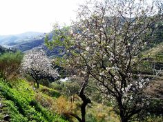 Almond Trees Blossom Andalucia & Costa del Sol Spain