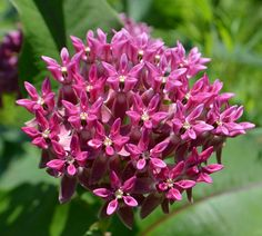 Twelve Native milkweeds for Monarchs