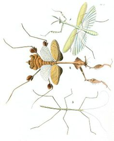 drawings of insects | insects, Mantids, Mantidae, and a Walking Stick, plate 50 volume 1 ...