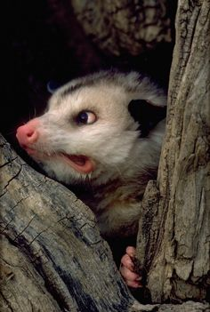 Opossums are resistant to diseases. Very rarely do they contract rabies. Animals And Pets, Baby Animals, Funny Animals, Cute Animals, Opossum, Tier Fotos, Funny Animal Pictures, Spirit Animal, Beautiful Creatures