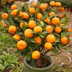Favorable 30Pcs Edible Fruit Mandarin Bonsai Tree Seeds Citrus Seeds Bonsai Mandarin Orange Seeds - NewChic Mobile
