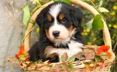 Indir duvar kağıdı Berner Sennenhund, köpek yavrusu, sepet, köpekler