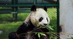 Oso, panda, zoologico, animales, blanco, negro, bambu, Panda, zoo, animals, white, black, bamboo