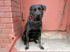 Safe!! TO BE DESTROYED - 11/06/14 Brooklyn Center -P My name is BEVERLY. My Animal ID # is A1018826. I am a female black labrador retr mix. The shelter thinks I am about 2 YEARS old. I came in the shelter as a STRAY on 10/27/2014 from NY 11691, owner surrender reason stated was STRAY.