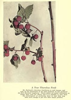 Luther Burbank: Thornless Raspberry Agricultural Science, Luther, Poppies, Raspberry, Art, Art Background, Kunst, Raspberries, Performing Arts
