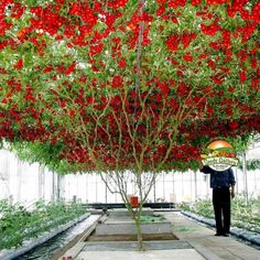 Giant Italian Tree Tomato seeds - Home Garden Plants, Garden Pots, House Plants, Tomato Tree, Tomato Plants, Euonymus Alatus, Allotment Gardening, Burning Bush, Giant Tree