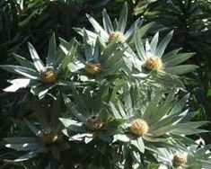 Leucadendron Argenteum male flowering branches Silver Tree Silverboom m S A no 77
