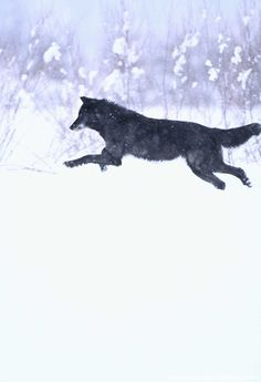 Black Wolf Running in Snow