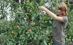 """Sommerschnitt für Apfelbäume - Erst Anfang der 90er-Jahre wurde der """"Juniknip"""" wiederentdeckt: Dieser Sommerschnitt bei Apfelbäumen lässt die Früchte besser ausreifen, beruhigt das Triebwachstum und reduziert die Anfälligkeit für Pilzerkrankungen."""