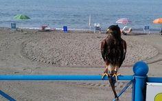Aguila de veraneo.