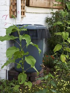 Stretch pantyhose over your rain barrel to keep mosquitoes from laying eggs.  Brilliant! #RainBarrels