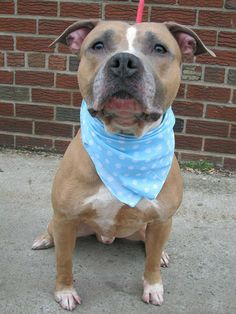 TO BE DESTROYED - 04/06/14 URGENT - Brooklyn Center   MILO - A0995083   MALE, BROWN / WHITE, STAFFORDSHIRE MIX, 3 yrs  STRAY - STRAY WAIT, NO HOLD Reason STRAY  Intake condition NONE Intake Date 03/28/2014,++++VERY FRIENDLY+++++