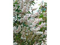 """Solitärpflanze, Bienenweide, Blütenhecke ✓ Weigelie """"Bristol Ruby"""" Rot Höhe ca. 50 - 60 cm Topf ca. 3 l Weigela ➜ Blühende Laubgehölze bei OBI kaufen"""