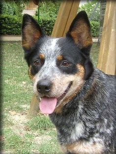 These dogs are amazing. Miss you Taffy :( Australian Cattle Dog, Aussie Cattle Dog, Cattle Dogs, Dog Rules, Working Dogs, Dogs And Puppies, Doggies, I Love Dogs, Best Dogs