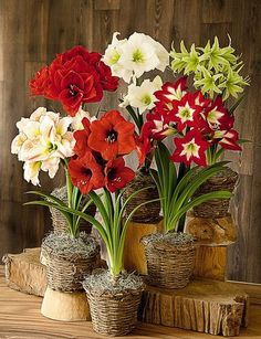 Hippeastrum many varieties available over the winter season