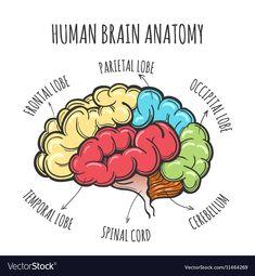 Human Brain Anatomy Sketch vector image on VectorStock Human Brain Anatomy, Brain Parts, Occipital Lobe, Anatomy Sketches, Single Image, Vector Free, Web Design, Adobe Illustrator, Illustration