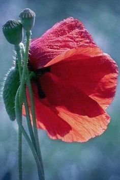 Red poppies are one of the most beautiful of all flowers.