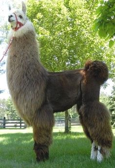 Sires Alpaca Images, Alpaca Pictures, Llama Llama, Cute Llama, Like Animals, Funny Animals, Funny Llama Pictures, Llama Stuffed Animal, Alpaca Gifts