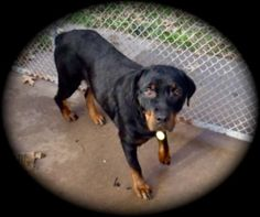 Crissy is an adoptable Rottweiler Dog in Waller, TX. Crissy was rescued from the 5th ward where she was dumped. She was emaciated and had a severe skin condition. She was so scared and had to be snare...