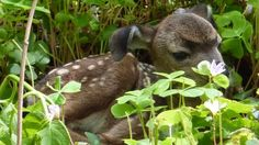 Muir Woods- A photo of a fawn resting in a bed of redwood sorrel flowers. It has floppy ears and looks like a puppy.