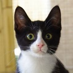 tuxedo cat.....reminds me of Naughty Frankie. Its all in the eyes!