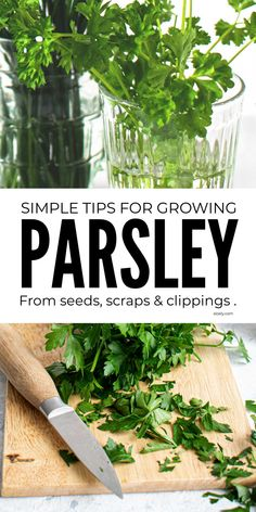Learn how to grow parsley indoors and outdoors and in containers in your herb garden with these simple herb growing tips for growing parsley from seeds, scraps and clippings. #parsley #growparsley #howtogrowparsley #parsleygrowing #herbgarden #growingherbs