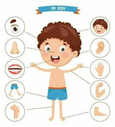 Find Vector Illustration Human Body stock images in HD and millions of other royalty-free stock photos, illustrations and vectors in the Shutterstock collection. Thousands of new, high-quality pictures added every day. Body Parts Preschool Activities, Body Preschool, Senses Activities, Preschool Learning Activities, Preschool Worksheets, Preschool Crafts, Toddler Activities, Kids Learning, The Human Body