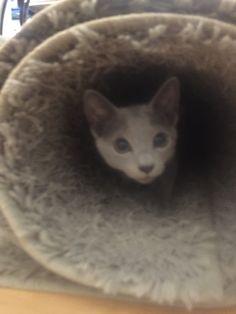 Russian Blue Kitten, Cats, Animals, Gatos, Animales, Animaux, Animal, Cat, Animais