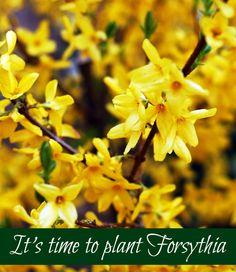 Forsythia – A Beautiful Harbinger of Spring Yellow Flowering Shrub, Flowering Shrubs, Spring Is Here, Yellow Flowers, Gardening Tips, Wordpress, Outdoors, Plants, Beautiful