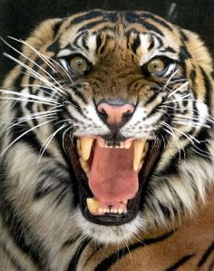 Reasons why it's okay to be fearless, like a tiger | Sherryn ...