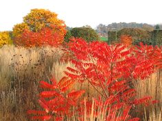 Staghorn Sumac Fall Color