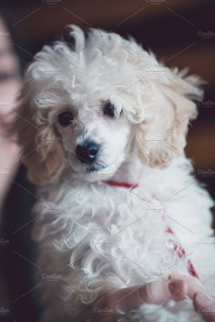 Dwarf poodle puppy Photos Close up indoor shot of adorable white dwarf poodle puppy. by DJ Photography