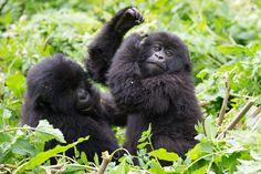 """De parel van Afrika  De safari rondreis De parel van Afrika is een veelzijdige en complete combinatiereis waar u bij uitstek het beste van twee safari landen beleeft. Kenia met o.a. haar machtige Masai Mara het land van de """"Big Five"""" en de prachtige meren van de Great Rift Valley. Daarnaast Uganda het land van o.a. de fascinerende chimpansees en majestueuze berggorillaÕs. Verder staat Uganda bekend vanwege de prachtige vergezichten sprookjesachtige kratermeren en het eindeloze groene…"""