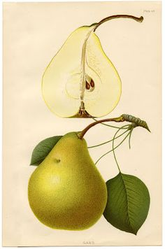 Instant Art Printable - Botanical Pears:     This is a beautiful 1890's Botanical Print of a Pear. Tt would like nice framed and hung in the kitchen with other botanical fruit & vegetable prints.    Download @  http://graphicsfairy.blogspot.com/2012/07/instant-art-printable-botanical-pears.html