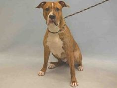 ROYAL – A1077038 MALE, BR BRINDLE / WHITE, AM PIT BULL TER / BOXER, 1 yr, 4 mos OWNER SUR – EVALUATE, NO HOLD Reason ALLERGIES Intake condition UNSPECIFIE Intake Date 06/11/2016, From NY 10473, DueOut Date 06/11/2016,