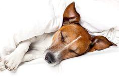 La leptospirosis es una enfermedad bacteriana altamente infecciosa que se propaga a través de la orina de perros o ratas infectados. También es zoonótico (lo que significa que puede propagarse a los humanos a través del contacto de la orina